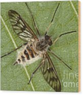 Cluster Fly Killed By Parasitic Fungus Wood Print