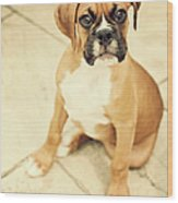 Clyde- Fawn Boxer Puppy Wood Print by Jody Trappe Photography