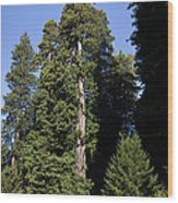 Coast Redwood Wood Print