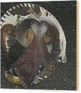 Coconut Octopus In Shell, North Wood Print