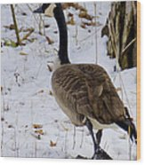 Cold Footed Goose On The Loose Wood Print