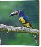 Collared Aracari Wood Print