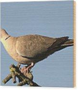 Collared Dove Wood Print