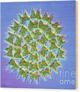 Colony Of Pediastrum Sp. Green Algae Wood Print by Eric Grave