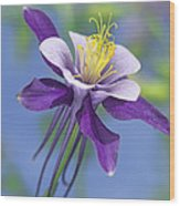 Colorado Blue Columbine Close Wood Print
