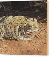 Colorado River Toad Wood Print