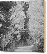 Colorado Rocky Mountain Aspen Road Portrait Bw Wood Print