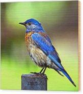 Colorful - Western Bluebird Wood Print