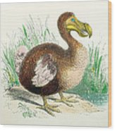 Coloured Engraving Of A Dodo Wood Print