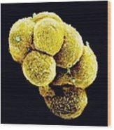 Coloured Sem Of An Embryo At The Stage Of Morula Wood Print