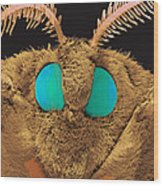 Coloured Sem Of The Head Of A Silk Moth, Bombyx Sp Wood Print