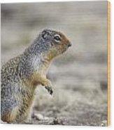 Columbian Ground Squirrel, Banff Wood Print