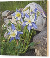 Columbine Colorado State Flower Wood Print