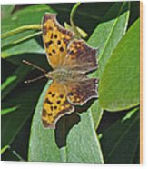 Comma Anglewing Butterfly - Polygonia C-album Wood Print