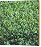 Common Box (buxus Sempervirens) Wood Print