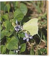 Common Brimstone Wood Print