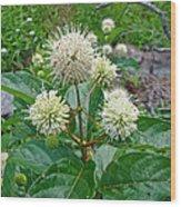 Common Buttonbush - Cephalanthus Occidentalis Wood Print