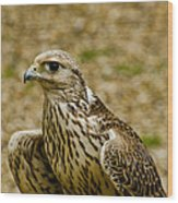 Common Female Kestrel Wood Print