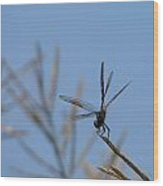 Common Green Darner Obelisking Wood Print