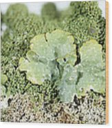Common Greenshield Lichen Wood Print by Ted Kinsman