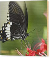 Common Mormon Butterfly Wood Print