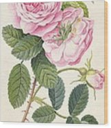 Common Provence Rose Wood Print by Georg Dionysius Ehret