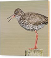 Common Redshank Tringa Totanus Calling Wood Print