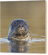 Common Seal Wood Print