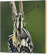 Common Swallowtail Butterfly Wood Print