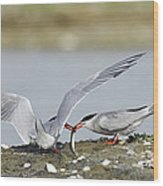 Common Terns Wood Print by Duncan Shaw