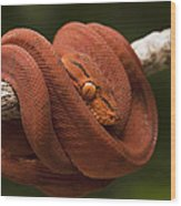 Common Tree Boa Corallus Hortulanus Wood Print