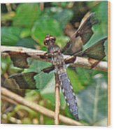Common Whitetail Dragonfly - Plathemis Lydia - Male Wood Print