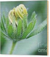 Cone Flower Rubeckia Hirta  Wood Print