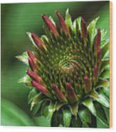 Coneflower Close-up Wood Print
