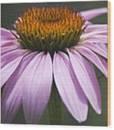 Coneflower Visitor Wood Print