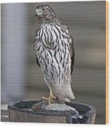 Cooper's Hawk - Immature - 0002 Wood Print