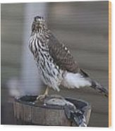 Cooper's Hawk - Immature - 0010 Wood Print