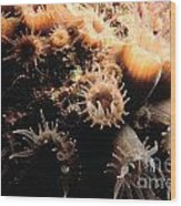 Coral Feeding 5 Wood Print