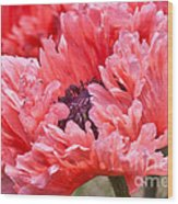 Coral Poppy Wood Print