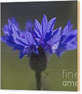 Cornflower Blue Wood Print
