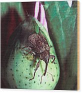 Cotton Boll Weevil Wood Print