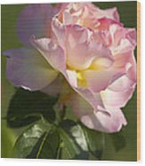 Cotton Candy Pink Peace Rose Wood Print