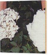Cotton Comparison Wood Print