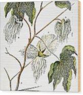 Cotton Plant, 1796 Wood Print