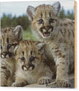 Cougar Cubs On A Rock Wood Print