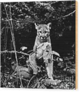 Cougar In The Northwest Trek Wildlife Park Wood Print