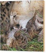 Cougar Mother Licks Kitten Wood Print