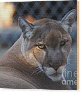 Cougar Portrait - Sad Eyes Wood Print