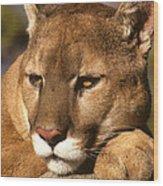 Cougar Relaxing. . . Wood Print
