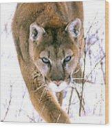Cougar Stalks Through Snow Wood Print